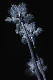Palm Trees IR Stock Photography