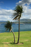Palm trees at irish west coast. Palm trees at mullaghmore with view over Donegal Bay Royalty Free Stock Image