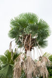 Palm trees isolated in the garden. Betel palm in resort in thailand Stock Image
