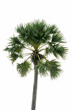 Palm trees isolated Royalty Free Stock Image