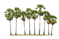 Palm trees isolated on white background Stock Images