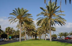 Palm Trees in Jandia Playa, Fuertenventura Royalty Free Stock Photo