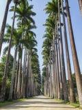 Palm Trees at Jardim Botanico, Rio de Janeiro. Royalty Free Stock Photos