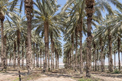 Palm Trees in the Jordan Valley Stock Photography