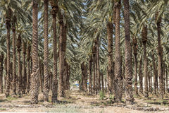 Palm Trees in the Jordan Valley Stock Photo