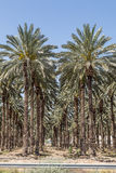 Palm Trees in the Jordan Valley Stock Image