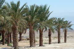 Palm trees in Judea desert Royalty Free Stock Image