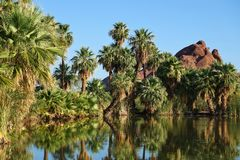 Palm Trees by Lake. Palm-Tree reflexion at a lake in Papago park Stock Images