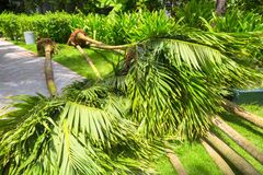 Palm trees for landing with roots Royalty Free Stock Photography