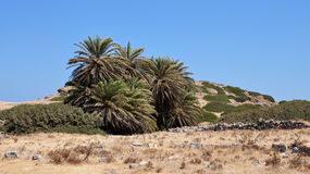 Palm trees in the landscape. Oasis of palm trees in the landscape Stock Image