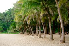Beach palm trees on the sand. Palm trees with large leaves in a flat row grow on the sand beach tourist spot stock photos