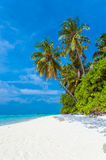 Palm trees leaning over sand beach, Maldives Stock Photos