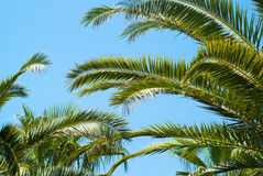 Palm trees leaves against the sky Royalty Free Stock Photo