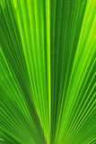 Palm trees leaves Royalty Free Stock Photo
