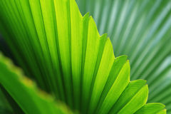 Palm trees leaves Stock Images