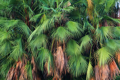 Palm trees leaves Royalty Free Stock Images