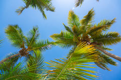 Palm trees leaves, low angle view against blue sky Royalty Free Stock Images