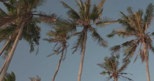 Palm trees leaves sway in the wind against blue sky background. Low angle palm trees leaves sway in the wind against blue sky background - video in slow motion stock video