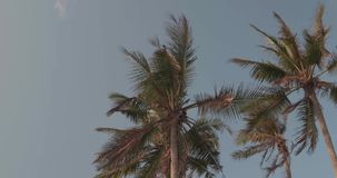 Palm trees leaves sway in the wind against blue sky background. Low angle palm trees leaves sway in the wind against blue sky background - video in slow motion stock footage