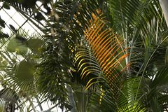 Palm trees at Lincoln Park Conservatory royalty free stock images