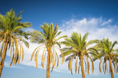 Palm trees line Royalty Free Stock Photo