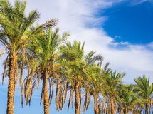 Palm trees line Royalty Free Stock Photography