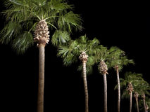 Palm Trees line the parkway at night Stock Images