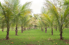Palm trees lined side by side in garden with green vegetation Royalty Free Stock Photos