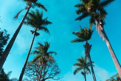 Palm trees lined up against blue sky. Beautiful palm trees lined up to the blue sky on a summer day Stock Image