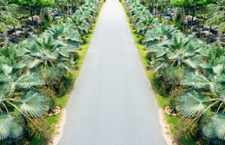 Palm trees lining beside the street Stock Photography