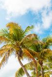 Palm Trees. Looking up at palm trees and clouds Stock Image