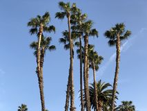 Palm trees in Los Angeles. Palm trees in Los Angeles on a blue sky Stock Photos
