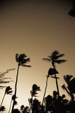 Palm trees from low angle Royalty Free Stock Images