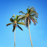 Palm trees, low angle view against blue sky. Royalty Free Stock Image