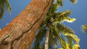 Palm trees from low angle. Palm trees viewed from low angle stock footage