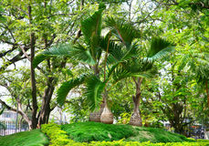 Palm trees in Lumbini park Royalty Free Stock Photos
