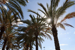 Palm trees in Majorca Stock Photography