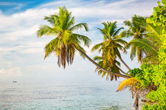 Palm trees on maldivian beach Royalty Free Stock Images