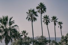 Palm trees in Manhattan Beach, California. United States royalty free stock photography