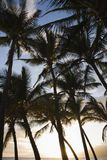 Palm trees in Maui. Royalty Free Stock Photos