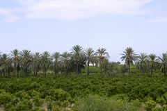 Palm trees in an Mediterranean orange tree field Stock Image