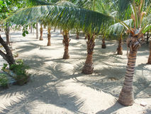 Palm trees in Mexico Royalty Free Stock Photo