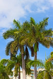 Palm trees in Miami Beach, Florida. Royalty Free Stock Photo