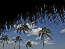 Palm trees. Miami palm trees in the wind Stock Image