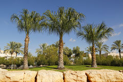 Palm trees in the Middle East Royalty Free Stock Images