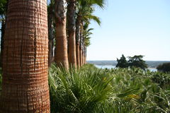 Palm trees, Montargil, Portugal stock photo