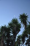 Palm trees. Moon in the sky with spiked palm trees standing tall Stock Images