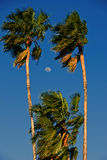 Palm trees and moon on sunny day Stock Photo