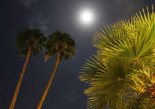 Palm Trees by Moonlight Royalty Free Stock Image