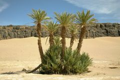 Palm trees in the moroccan desert Stock Images